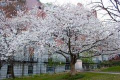 Δέντρο αχλαδιών του Μπράντφορντ στοκ φωτογραφία με δικαίωμα ελεύθερης χρήσης