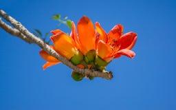 Δέντρο βαμβακιού, δέντρο καπόκ, κόκκινο δέντρο βαμβακιού, βαμβάκι μεταξιού, βούρτσα Shving Στοκ Εικόνα