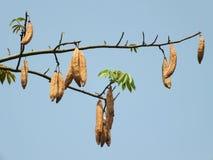 Δέντρο βαμβακιού Στοκ φωτογραφία με δικαίωμα ελεύθερης χρήσης