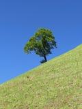 Δέντρο βουνοπλαγιών Στοκ Φωτογραφίες