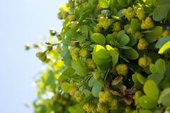 Δέντρο & x28 γουαϊάκιων Guaiacum sanctum& x29  Στοκ φωτογραφία με δικαίωμα ελεύθερης χρήσης