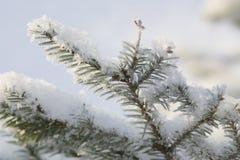 δέντρο γουνών κλάδων Στοκ φωτογραφίες με δικαίωμα ελεύθερης χρήσης