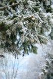 δέντρο γουνών κλάδων Στοκ Φωτογραφία