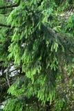 Δέντρο γουνών branche Στοκ εικόνα με δικαίωμα ελεύθερης χρήσης