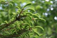 Δέντρο γουνών branche Στοκ Εικόνες