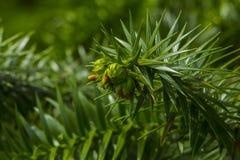 Δέντρο γρίφων πιθήκων, αροκάρια Araucana, κλάδος κινηματογραφήσεων σε πρώτο πλάνο Στοκ Εικόνες