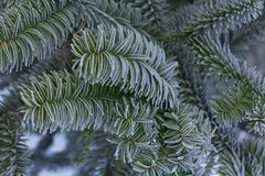 Δέντρο γρίφων πιθήκων, αροκάρια Araucana, κλάδος κινηματογραφήσεων σε πρώτο πλάνο Στοκ φωτογραφία με δικαίωμα ελεύθερης χρήσης