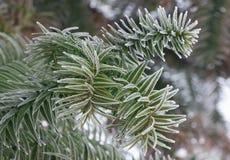 Δέντρο γρίφων πιθήκων, αροκάρια Araucana, κλάδος κινηματογραφήσεων σε πρώτο πλάνο Στοκ Εικόνα