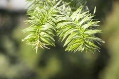 Δέντρο γρίφων πιθήκων, αροκάρια Araucana, κλάδος κινηματογραφήσεων σε πρώτο πλάνο Στοκ φωτογραφίες με δικαίωμα ελεύθερης χρήσης