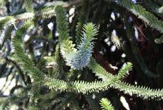 Δέντρο γρίφων πιθήκων, κλάδοι araucana αροκαριών Στοκ φωτογραφία με δικαίωμα ελεύθερης χρήσης