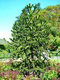 Δέντρο γρίφων πιθήκων σε Βικτώρια, Π.Χ. Στοκ Εικόνες