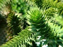 Δέντρο γρίφων πιθήκων σε Βικτώρια, Π.Χ. Στοκ εικόνες με δικαίωμα ελεύθερης χρήσης