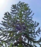 Δέντρο γρίφων πιθήκων, araucana αροκαριών Στοκ φωτογραφία με δικαίωμα ελεύθερης χρήσης