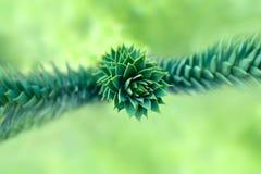 Δέντρο γρίφων πιθήκων (araucana αροκαριών) Στοκ Φωτογραφίες