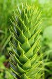 Δέντρο γρίφων πιθήκων (araucana αροκαριών) Στοκ φωτογραφίες με δικαίωμα ελεύθερης χρήσης