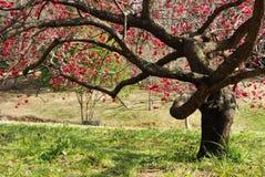 δέντρο δαμάσκηνων ανθών Στοκ φωτογραφίες με δικαίωμα ελεύθερης χρήσης
