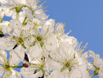 δέντρο δαμάσκηνων κλάδων Στοκ εικόνα με δικαίωμα ελεύθερης χρήσης
