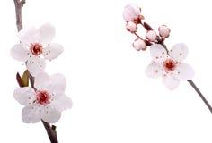 δέντρο δαμάσκηνων λουλο& Στοκ Φωτογραφίες