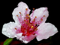 δέντρο δαμάσκηνων λουλο& Στοκ Εικόνες