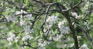 Δέντρο δαμάσκηνων στο άνθος φιλμ μικρού μήκους
