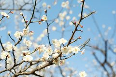δέντρο δαμάσκηνων στοκ φωτογραφία με δικαίωμα ελεύθερης χρήσης