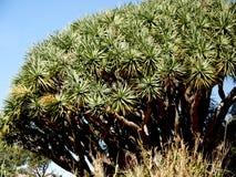 Δέντρο δράκων στο βράχο του Γιβραλτάρ στην είσοδο στη Μεσόγειο στοκ φωτογραφία με δικαίωμα ελεύθερης χρήσης