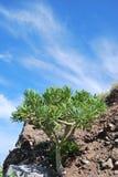 δέντρο δράκων Στοκ εικόνες με δικαίωμα ελεύθερης χρήσης