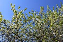 Δέντρο δύο της Apple Στοκ εικόνα με δικαίωμα ελεύθερης χρήσης