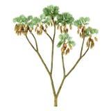 Δέντρο εγκαταστάσεων φοινικών που απομονώνεται. Thebaica Hyphaene Στοκ φωτογραφίες με δικαίωμα ελεύθερης χρήσης