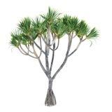 Δέντρο εγκαταστάσεων φοινικών που απομονώνεται. Utilis Pandanus Στοκ εικόνες με δικαίωμα ελεύθερης χρήσης