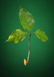 δέντρο εγκαυμάτων Στοκ Εικόνα