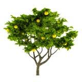 Δέντρο λεμονιών εσπεριδοειδών που απομονώνεται Στοκ εικόνα με δικαίωμα ελεύθερης χρήσης