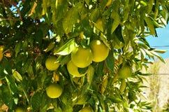 Δέντρο λεμονιών κοιλάδων Elqui Στοκ φωτογραφίες με δικαίωμα ελεύθερης χρήσης