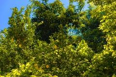 Δέντρο λεμονιών με την ανάπτυξη των λεμονιών Στοκ Εικόνα