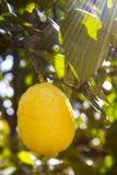 Δέντρο λεμονιών με το φρέσκο λεμόνι Στοκ φωτογραφία με δικαίωμα ελεύθερης χρήσης