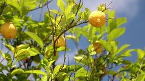 Δέντρο λεμονιών απόθεμα βίντεο