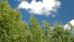 Δέντρο ενάντια στο σαφή μπλε ουρανό απόθεμα βίντεο
