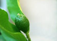 δέντρο εσπεριδοειδών στοκ εικόνα με δικαίωμα ελεύθερης χρήσης