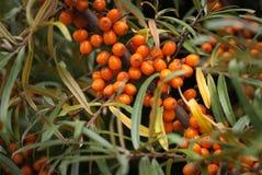 Δέντρο λευκαγκαθιών που αυξάνεται καλύτερο juicy χρήσιμο buckthorn μούρων Στοκ Εικόνα
