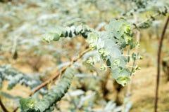 Δέντρο ευκαλύπτων - φύλλα pulverulenta στοκ εικόνες με δικαίωμα ελεύθερης χρήσης