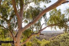 Δέντρο ευκαλύπτων με το τοπίο πίσω Στοκ φωτογραφία με δικαίωμα ελεύθερης χρήσης