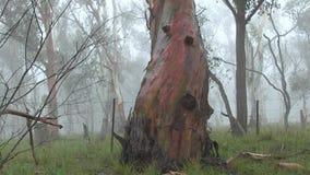 Δέντρο ευκαλύπτων με το χρωματισμένο φλοιό στην άκρη του εδάφους που χρησιμοποιείται για τη βοσκή βοοειδών φιλμ μικρού μήκους