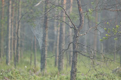 Δέντρο ελών με τους Ιστούς αραχνών στοκ εικόνες