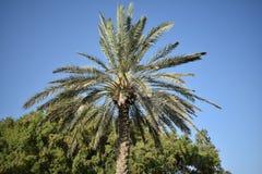 Δέντρο ημερομηνιών στα Ε.Α.Ε. που φαίνονται σύνολο ομορφιάς Στοκ Εικόνες