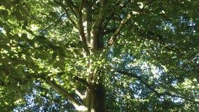 Δέντρο θερινών οξιών στοκ εικόνα
