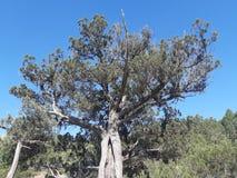 Δέντρο ιουνιπέρων από την Κριμαία στοκ φωτογραφία με δικαίωμα ελεύθερης χρήσης