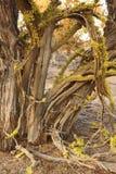 Δέντρο ιουνιπέρων σε αργά το απόγευμα στοκ εικόνες με δικαίωμα ελεύθερης χρήσης