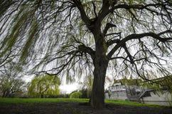 Δέντρο ιτιών άνοιξη Στοκ εικόνα με δικαίωμα ελεύθερης χρήσης