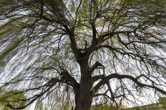 Δέντρο ιτιών άνοιξη Στοκ Εικόνα