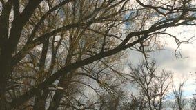 Δέντρο ιτιών με το πετώντας φύλλωμα ενάντια στο σκηνικό ενός μπλε ουρανού φθινοπώρου Περπάτημα μέσω του δάσους φθινοπώρου - άποψη απόθεμα βίντεο